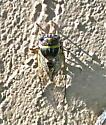 Seaside Cicada  - Diceroprocta viridifascia
