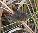 Some type of Duskywing Skipper, any chance of ID?  - Erynnis brizo