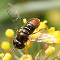 Small Syrphid Fly - Paragus haemorrhous