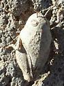 stonehopper - Xanthippus corallipes
