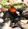 Hemipepsis ustulata - female