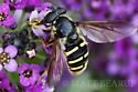 Flower Fly - Sericomyia chalcopyga - female