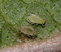 Hyalopterus pruni - female