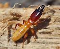 Termites 1 Soldier - female