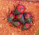 Family of beetles - Euthyrhynchus floridanus