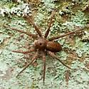 Big Spider in ohio - Dolomedes vittatus