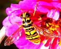 Yellowjacket Hover Fly - Milesia virginiensis