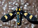 Phoenicoprocta hampsonii