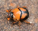 Black and orange beetle - Bolbocerosoma farctum