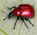 Leaf-Rolling Weevil - Homoeolabus analis - female
