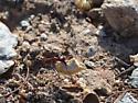 Mystery ant sp. - Novomessor cockerelli - female