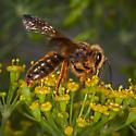 Andrena? - Andrena prunorum - male