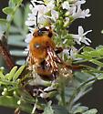 Hymenoptera-Colletidae-Zikanapis orPtiloglossa - Ptiloglossa