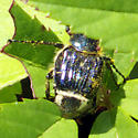 Flower Chafer Beetle - Trichiotinus piger