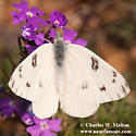 Checkered White Butterfly - Pontia protodice - male