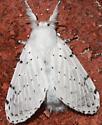 Moth to porch light - Artace cribrarius