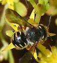 Anthidium? - Anthidium oblongatum