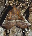 The Herald - Scoliopteryx libatrix
