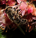 Syrphidae, lateral - Eristalis dimidiata
