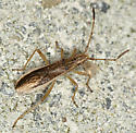 Broad-headed Bug? - Darmistus subvittatus