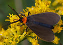Unknown Moth - Cisseps fulvicollis