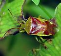 Red-Cross Shield Bug - Elasmostethus cruciatus
