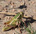 Plains Lubber - Brachystola magna