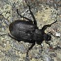 Tundra scarab - Osmoderma scabra