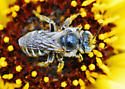 Bee for ID - Calliopsis