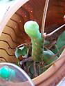 Green Worm Thing 2 - Eumorpha pandorus