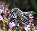 Large noggin - Megachile parallela - male