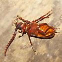 Tile-horned Prionus Beetle - Prionus pocularis - male