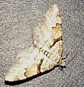 Moth - Xanthorhoe