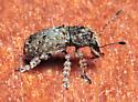 Shaggy-legged beetle - Toxonotus