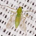 Green Midge - female