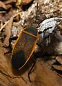 unidentified Heteroptera - Largus