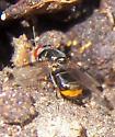 Fly 041116 - Euxesta notata - female