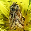Moth found on dandelion flower.  Schinia mitis (Grote, 1873) - Schinia mitis
