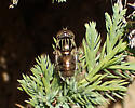 fly - Eristalinus aeneus - female