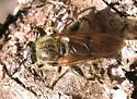 Syrphidae - Brachypalpus sp.   -- view 2 - Brachypalpus oarus - male