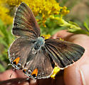 Grey Hairstreak Butterfly 2 - Strymon melinus