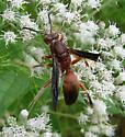 Paper Wasp - Polistes
