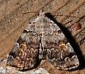 29july2011-moth9 - Idia americalis