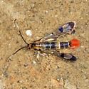 Red Maple Borer - Synanthedon acerrubri