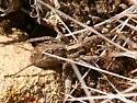 crab spider ? - Schizocosa avida