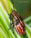 Pentatomomorpha (nymph) - Elasmucha lateralis