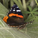 Admirable Red Admiral - Vanessa atalanta