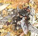 Tachinidae ? - male