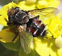 Tachnid fly - Peleteria
