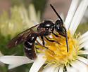 Bee? - Lasioglossum fuscipenne